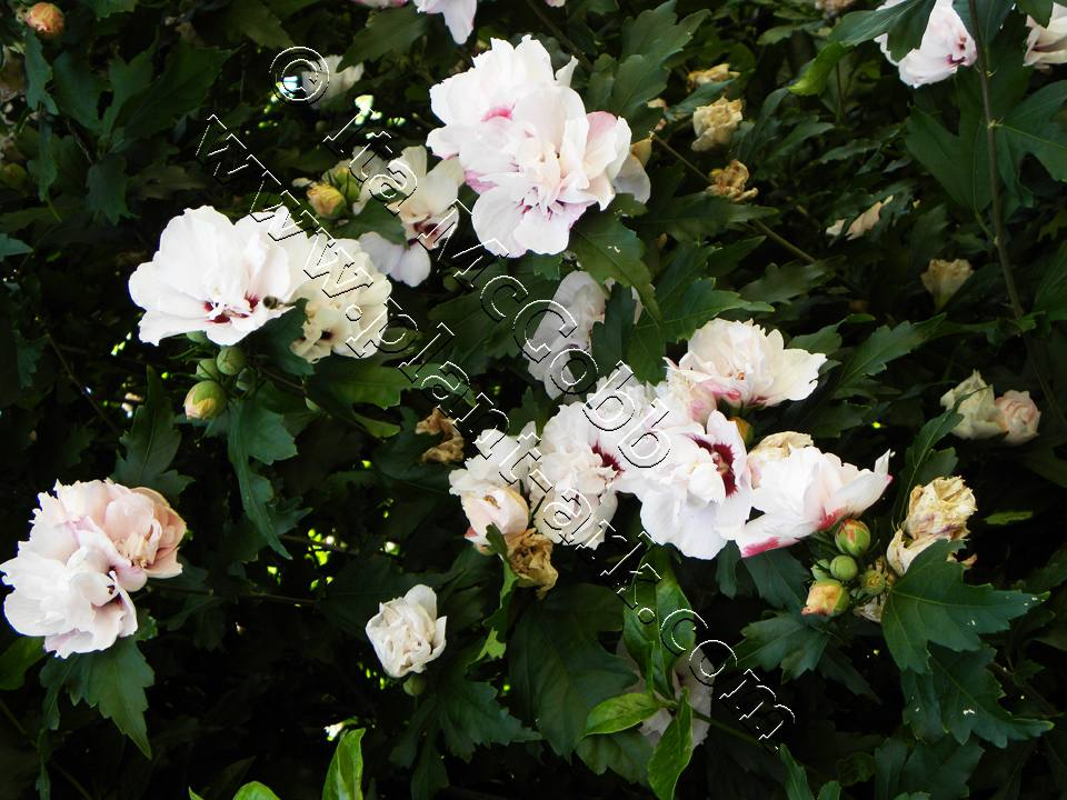Plant Ark Bushes Gallery Hibiscus Syriacus Red Heart